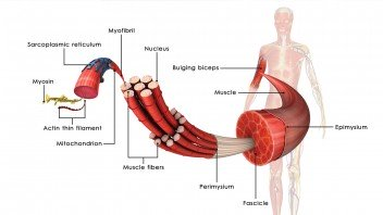 spieren-opbouw