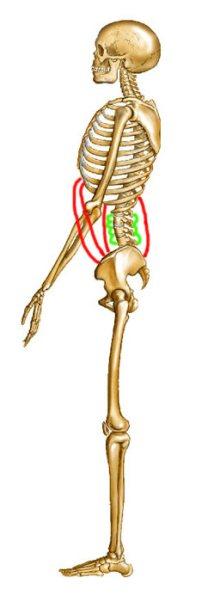 zijaanzicht-skelet