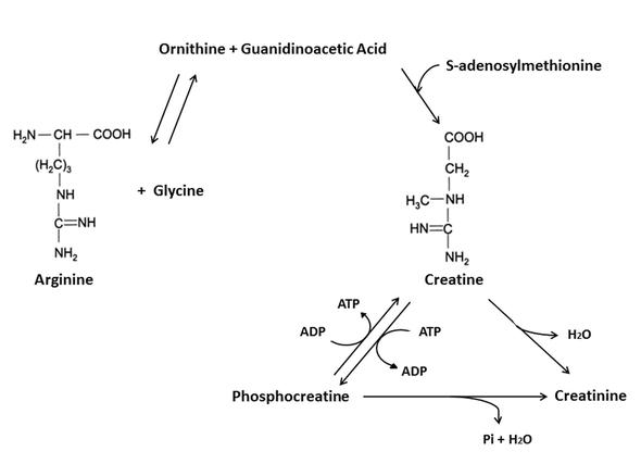 creatine formule