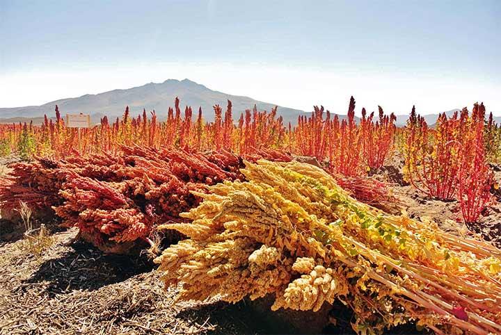 quinoa-plant