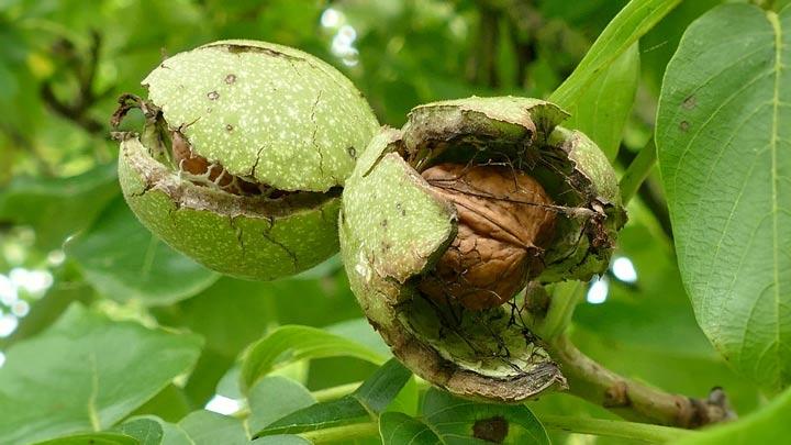walnoten-vrucht