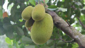 Is jackfruit een goede vleesvervanger?