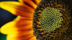 Is zonnebloemolie gezond?